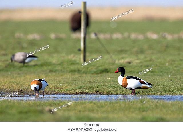 Goose, Tadorna tadorna
