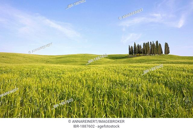 Group of cypress trees, cypress (Cupressus sempervirens), Crete Senesi, Tuscany, Italy, Europe