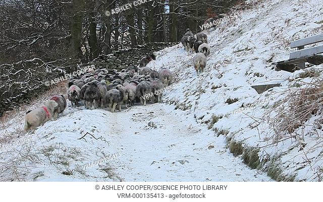 A farmer gathering sheep at Rydal Water in the Lake District in winter, UK