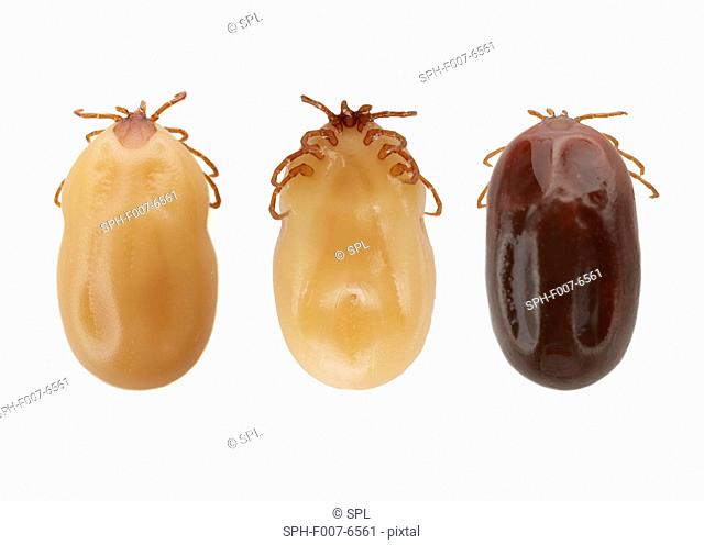 Ticks (superfamily Ixodoidea)