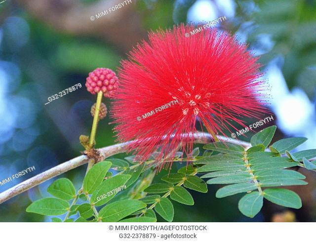 Tree blossom (Calliandra haematocephalus) and bud. Hawai'i. Found in tropical & subtropical Americas