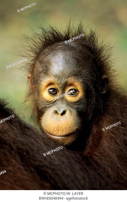 orang-utan, orangutan, orang-outang (Pongo pygmaeus), portrait of a young animal