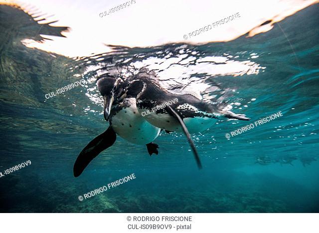 Galapagos Penguins socializing, Seymour, Galapagos, Ecuador