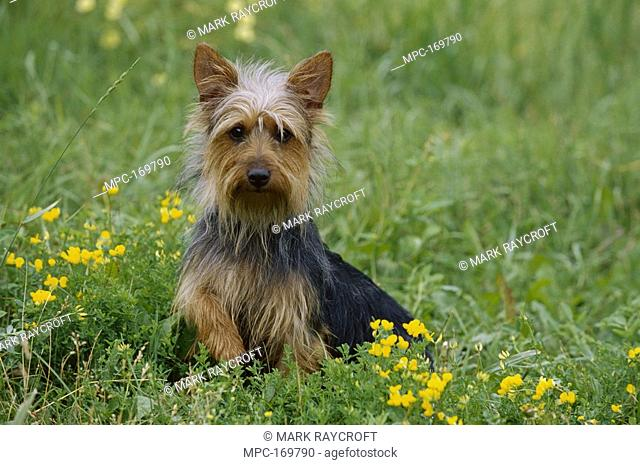 Australian Terrier Canis familiaris, puppy