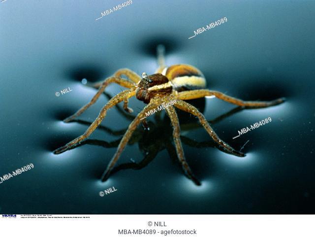 Web spider, Dolomedes fimbriatus