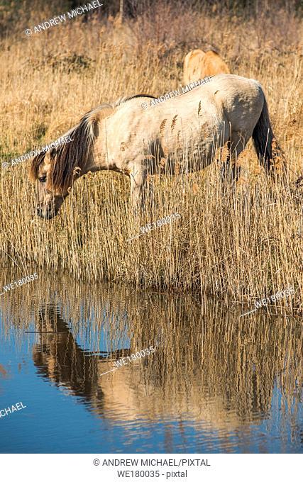 Wild Konik ponies on the banks of Burwell Lode waterway on Wicken Fen nature reserve, Cambridgeshire; England; UK