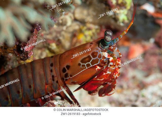 Smashing Mantis Shrimp (Odontodactylus scyllarus), Melissa's Garden dive site, Penemu Island, Raja Ampat (4 Kings) area, West Papua, Indonesia
