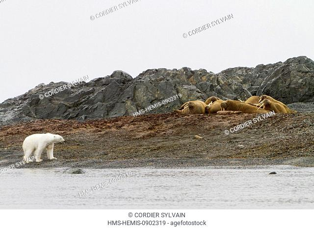 Norway, Svalbard, Spitsbergern, Polar Bear (Ursus maritimus) looking carefuly a group of walruses resting in beach colony
