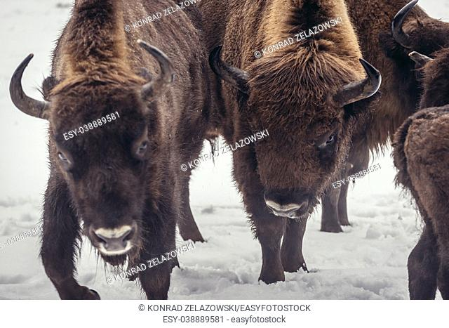 Herd of European bison in animal Show Reserve in Bialowieza village located in the middle of Bialowieza Forest, Podlaskie Voivodeship of Poland