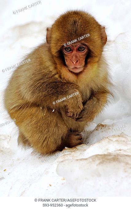 A baby snow monkey Japanese Macaque at the Jigokudani Yaen-Koen hot spring