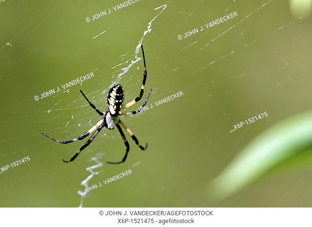 A Black and Yellow Garden Spider also known as a Writing Spider or a Corn Spider, Argiope aurantia This spider is missing one of its hind legs  Leamings Run...