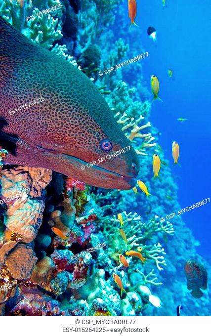 colorful coral reef with dangerous great moray eel at the bottom