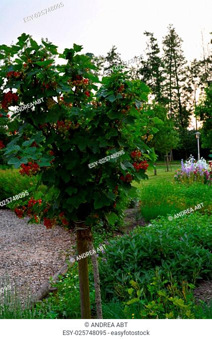 currant trees