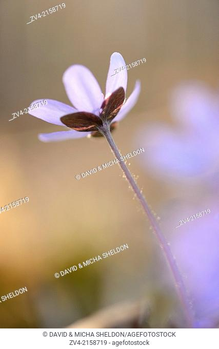 Close-up of a Common Hepatica (Anemone hepatica) blossom in a forest on a sunny evening in spring