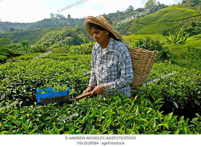Woman clips tea leaves with traditional shears Cameron Highlands Malaysia