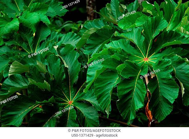 Leaves of Cecropia sp , Moraceae, Acre, Brazil, 2009