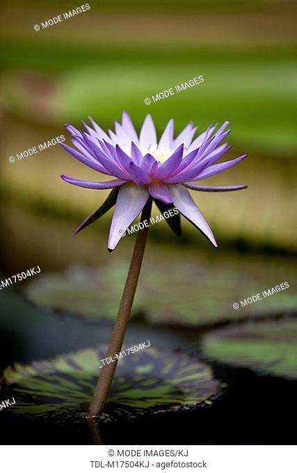 A purple water lily in flower