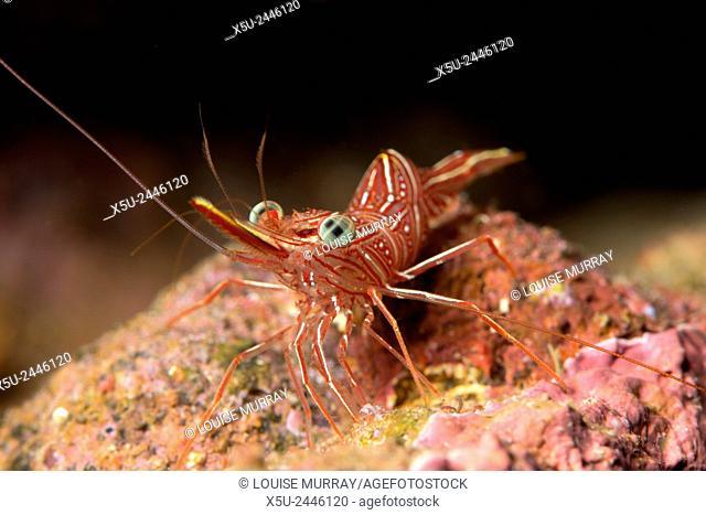 Hinge beak shrimp, or prawn, Rhynchocinetes sp. emerges to feed at night