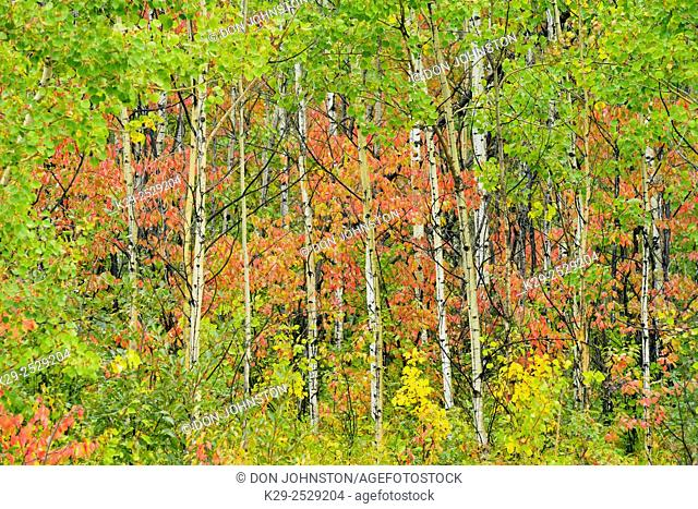 Autumn colour in the understory of an aspen woodland, Highway 29 to Hudson's Hope BC, British Columbia, Canada