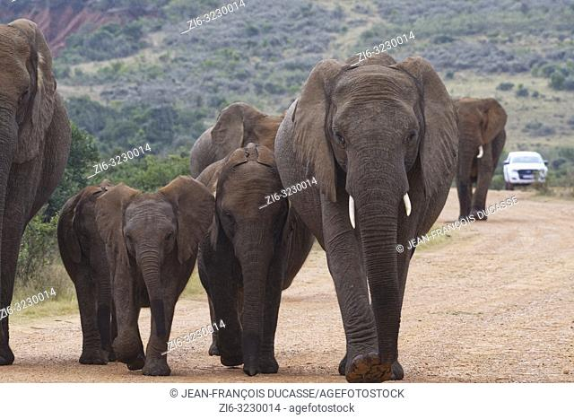 African bush elephants (Loxodonta africana), herd, walking on a dirt road, a tourist car at the back, Addo Elephant National Park, Eastern Cape, South Africa