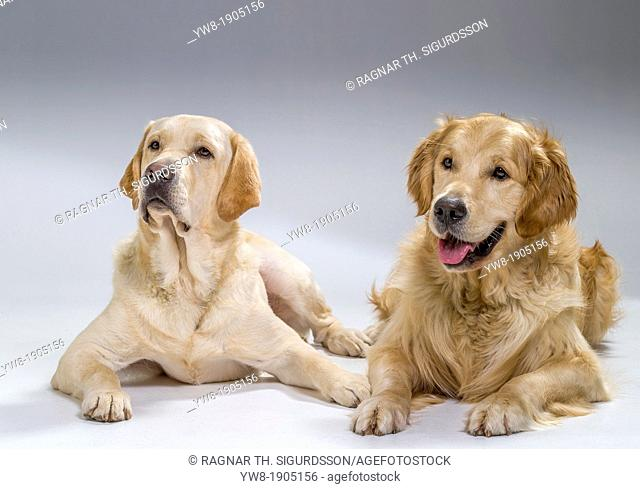 Portrait of a Golden Retriever and Yellow Labrador Retriever, lying down