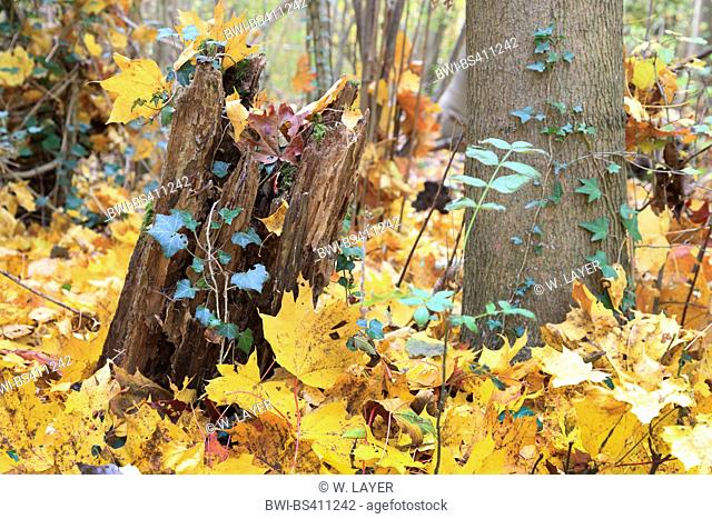 floodplain forest in autumn with ivy and maple leaves, Germany, Baden-Wuerttemberg