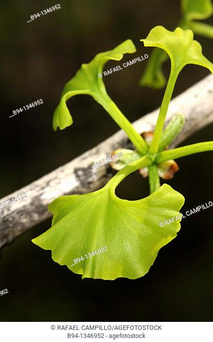 Sprouting of Ginkgo biloba, Maidenhair Tree, Fam. Ginkgoaceae. Lesseps square, Barcelona, Catalonia, Spain