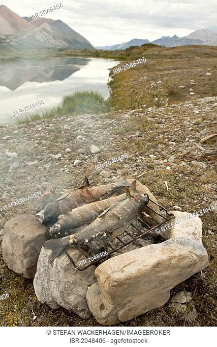 Three fish, Arctic grayling (T. arcticus arcticus) cooking on a camp fire, grilling, baking, BBQ, camping, Wind River and Mackenzie Mountains behind