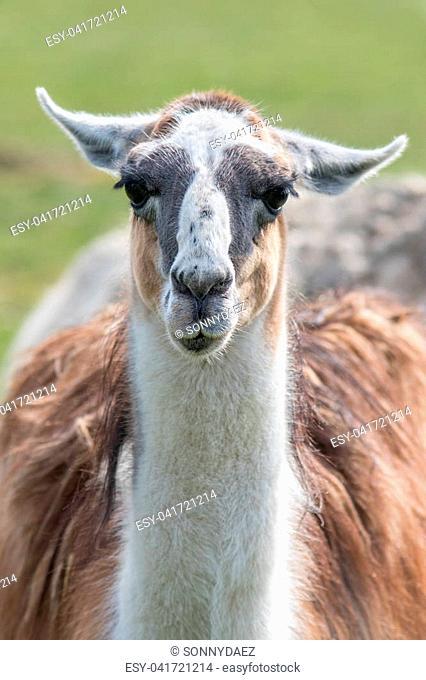 Llama (Lama glama) portrait. Unusual farm animal looking at camera