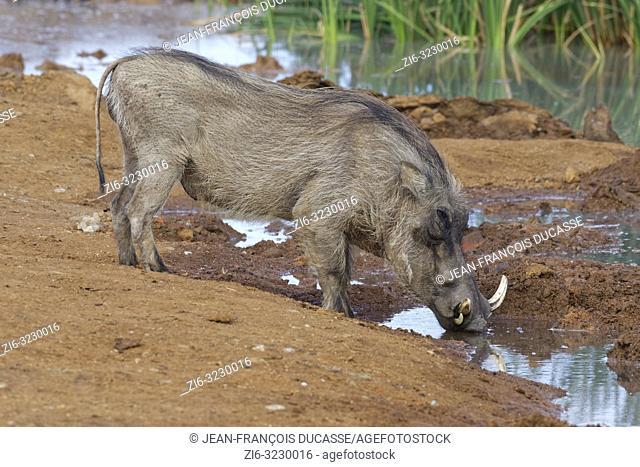 Common warthog (Phacochoerus africanus), adult male, drinking at a waterhole, Addo Elephant National Park, Eastern Cape, South Africa, Africa