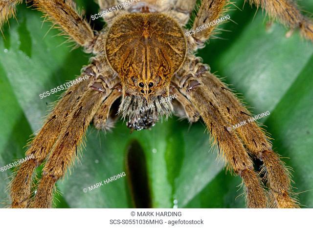 Water Spider, Mindo Ecuador