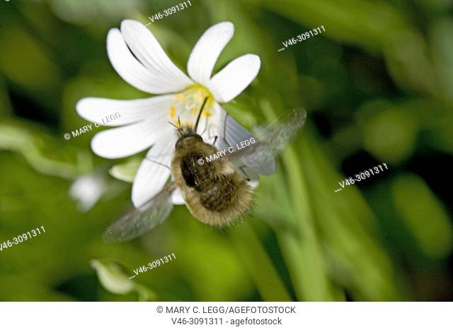 Bee Fly, Bombyliidae on Greater Stichwort, Stellaria holostea