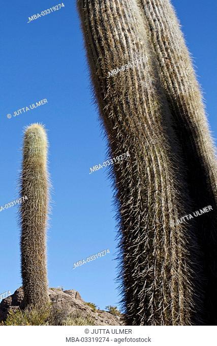 Bolivia, Salar de Uyuni, Isla Inca Huasi, cacti