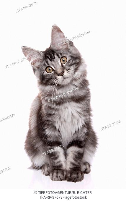 sitting Maine Coon Kitten