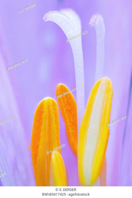 Meadow saffron, Naked lady, Autumn crocus (Colchicum autumnale), detail of flower with stamens and pistil, Germany, Bavaria, Oberbayern, Upper Bavaria