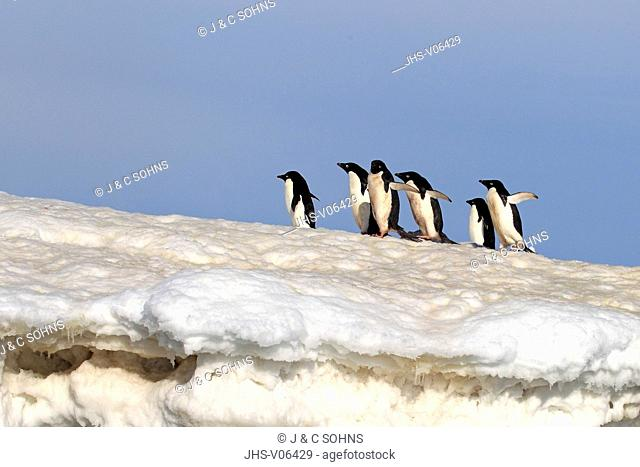 Adelie Penguin, (Pygoscelis adeliae), Antarctica, Brown Bluff, group of adults in snow