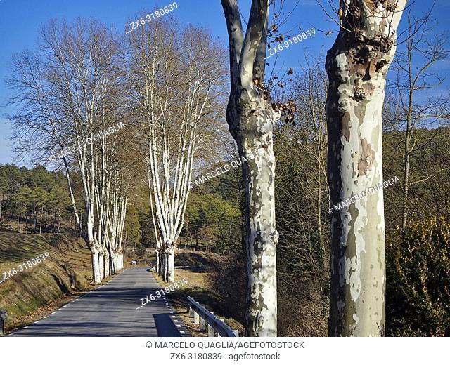 Winter Plane trees (Platanus x acerifolia) on a road. Lluçanès region, Barcelona province, Catalonia, Spain