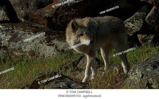 Coyote Canis latrans sniffs breeze. Northern California, USA