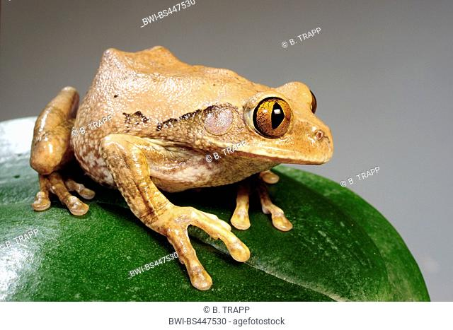 silvery tree frog, triad tree frog, glade treefrog  (Leptopelis argenteus), sitting on a leaf