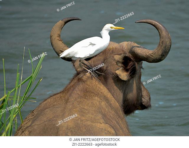 buffalo with egret on his back in Uganda