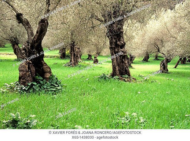 Olive trees around Soller village, Mallorca, Illes Balears, Spain