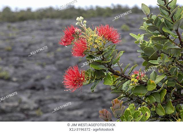Hawaii Volcanoes National Park, Hawaii - The blossoms of the Ohi'a tree, or Ohi'a Lehua (Metrosideros polymorpha), on a lava flow from the Kilauea volcano
