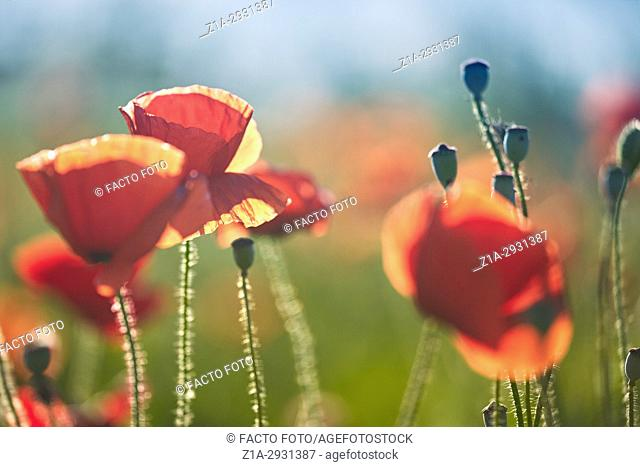Red poppy flowers field. Getafe, Community of Madrid. Spain