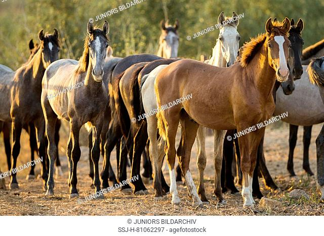 Pure Spanish Horse, Andalusian. Herd of juvenile stallions standing on sandy ground. Spain