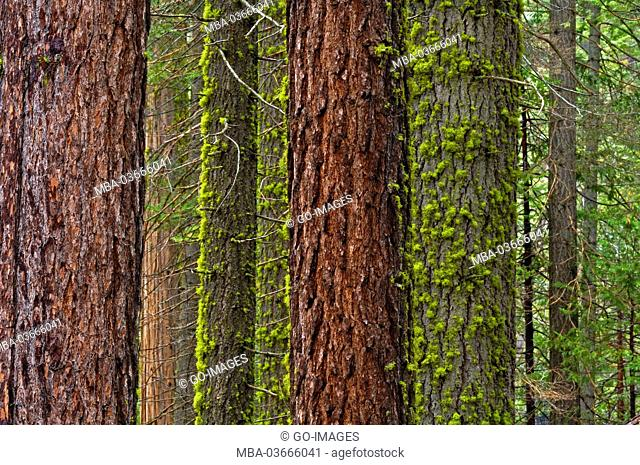Trees in the Yosemite national park, the USA