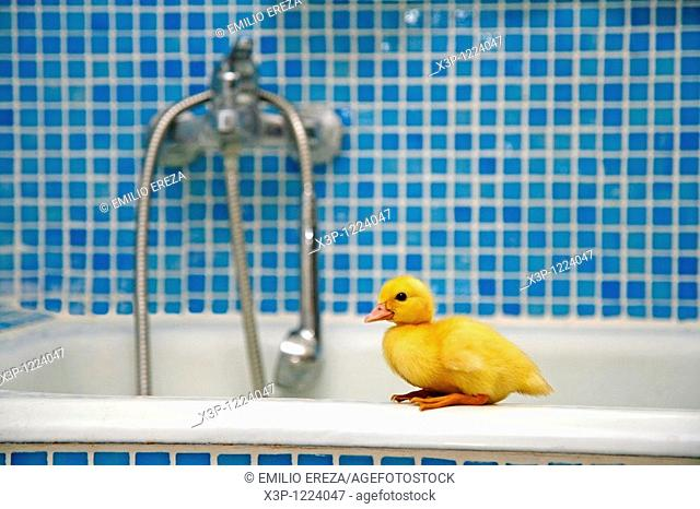 Duckling in a bathroom