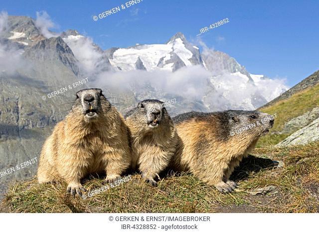 Alpine marmot (Marmota marmota), group in front of Grossglockner, High Tauern National Park, Austria