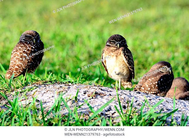 This adorable family of burrowing owls have set up an unusual home in Central Park Plantation in Florida. It seems they just don't give a hoot about the...