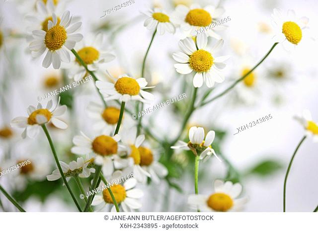 tanacetum parthenium - feverfew, single vegmo variety, Summer daisy-like flowers, medicinal herb