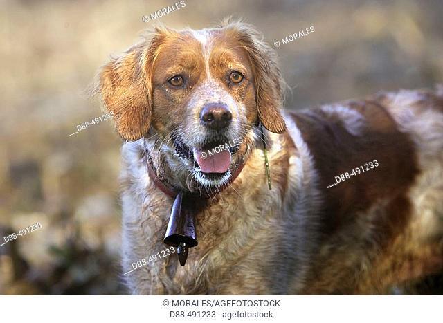 Britanny, gun dog